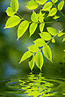 Green Leaves Reflecting In The Water, Shallow Focus stock photo