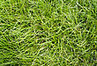 Green Long Grass Texture Pattren On Ground stock photo