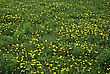 Green Meadow Full Of Dandelions Bloom stock photography