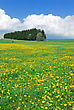 Trees Green Meadow In May, Covered With Yellow Flowers Of Dandelions, And Blue Sky With Clouds stock photo