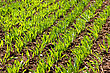 Green Sprouts And Foliage Of Winter Wheat