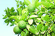 Green Unripe Orange Fruit On A Branch. Orange Garden. Orange Trees With Fruits On Plantation stock photo