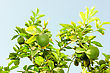 Green Unripe Orange Fruit On A Branch. Orange Garden. Orange Trees With Fruits On Plantation stock photography