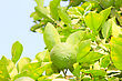 Green Unripe Orange Fruit On A Branch. Orange Garden. Orange Trees With Fruits On Plantation stock image