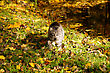 Grey Cat Goes On Fallen Down Yellow Leaves stock photo