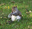Grey Squirrel Eating A Nut stock photo
