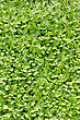 Groundcover Plant, Decorative Texture In The Garden