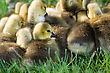 A Group Of Canadian Goslings