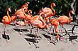 Group Of Pink Flamingos Mingling At The Zoo. stock photo