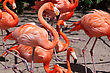 Group Of Pink Flamingos Mingling At The Zoo stock photo