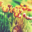 Grungy Floral Backgrounds. Beauty Tulip On The Meadow, Lomo Style Artwork stock photo