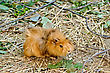 Guinea Pig Brown Against Branches And A Grass stock photo