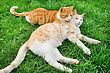 Cats & Kittens Hagging Red And Tawny Cats On Green Grass stock photography