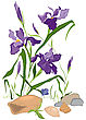 Hand Drawn Illustration Of Iris Blooms Flowers Isolated On White