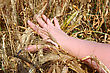 Hand Holding Ears Of Wheat stock photography