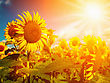 Happy Meadow. Sunflowers Field Under Golden Summer Sun stock photography