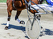 Harness Racing. Racing Horse Harnessed To Lightweight Strollers stock photo