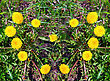 Heart Made Of Yellow Dandelions On Green Grass stock photo