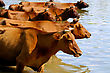 Herd Of Cows On Water Background