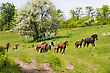 Herd Of Wild Steppe Horses On Graze Background