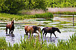 Herd Of Wild Steppe Horses In River Background