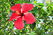 Hawaii Hibiscus Flower In The Jungle stock image