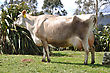 High Production Pedigree Jersey Cow Showing Off Udder Attachment, West Coast, New Zealand stock photography