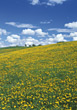 Hill With Dandelions stock image