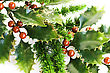 Holly Berry Plant With Red Berries On White Background, Christmas Decoration