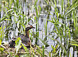 Horned Grebe And Babies In Saskatchewan Canada stock photography