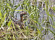 Horned Grebe And Babies In Saskatchewan Canada stock image