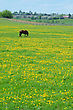 Horse Grazing On The Spring Meadow Covered With Flowers Of Dandelions stock photo
