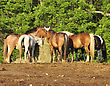 Horses Feeding On A Farm