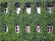 House Wall Twined Wild Grapes. Ancient House In Vilnius, Lithuania stock photo
