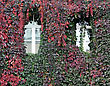 House Wall, Twined Wild Grapes, Autumn Colors stock photo