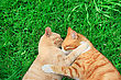Cats & Kittens Hugging Tawny And Red Cats On Green Grass stock photography