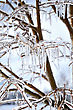 Icecircles On The Tree Branches, Close Up