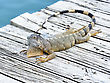 Iguana Resting On Wooden Bridge stock image