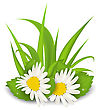 Illustration Camomile Flowers With Grass On White Background - Vector