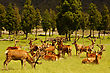 New Zealand Impressive Mob Of Red Deer Stags, Cervus Elephus, In Velvet, Westland, New Zealand stock image