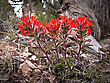 Indian Paintbrush Blooms In The Desert In Canyonlands National Park stock photo