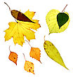 Isolated Fallen Yellow Leaves On White Background stock image