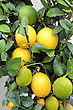It Is Ripe Citrus Fruit Grown On The A Windowsill In House Conditions stock photography