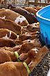 Jersey Calves Drinking Milk At Their Feeder, Westland, New Zealand stock image