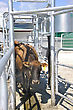 Jersey Cow Navigating The Races Outside The Milking Shed, Westland, New Zealand stock photo
