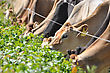 Jersey Cows At The Break Fence For A Winter Feed Of Turnips, Westland, New Zealand stock photo