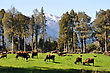 Jersey Cows On Pasture, West Coast, New Zealand stock photo