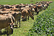 Jersey Cows Wait At The Break Fence For A Winter Feed Of Turnips, Westland, New Zealand stock photo