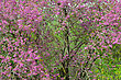 Judas Tree With Beautiful Pink Flowers In Spring stock photo