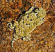 A Juvenile Desert Horned Lizard stock photography